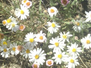 The Desert Daisy!!